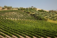 Spain, Andalusia, Cadiz Province Vineyard Field and Olive Grove by Julie Eggers - various sizes