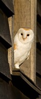 England, Barn Owl looking out from Barn Fine Art Print