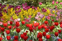 Tulips in St James's Park, London, England, United Kingdom by David Wall - various sizes