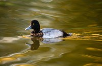 UK, Tufted Duck on pond reflecting Fall colors Fine Art Print