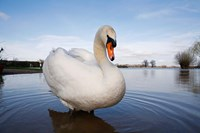 Mute Swan (Cygnus olor) on flooded field, England Fine Art Print