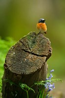 Redstart bird, Forest of Dean, Gloucestershire, UK Fine Art Print