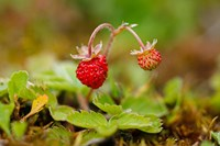 UK, England, Strawberry fruit, garden Fine Art Print