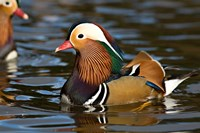 UK, Mandarin Duck wildlife Fine Art Print