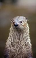 Otter Sanctuary, English Otter, Buckfast, Devon, England by Nik Wheeler - various sizes