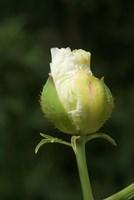 Californian tree poppy flower ready to bloom Fine Art Print