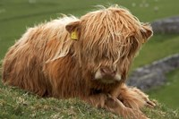 Highland cow, Farm animal, North Yorkshire, England by David Wall - various sizes, FulcrumGallery.com brand