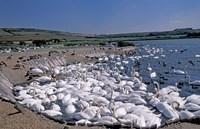 Swannery of Mute Swans, Abbotsbury, Dorset, England by Nik Wheeler - various sizes