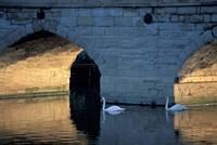 Swans in River, Stratford-on-Avon, England Fine Art Print