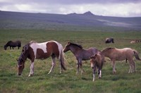 Horses of Dartmoor, Devon, England Fine Art Print
