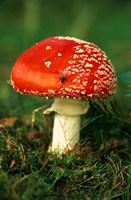 UK, Fly Agaric mushroom fungi Fine Art Print
