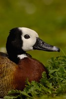 White-faced Whistling Duck, England by Pete Oxford - various sizes