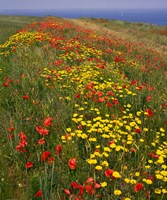 Poppies in Studland Bay, Dorset, England by Paul Thompson - various sizes - $46.99