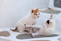 Kittens Playing, Mykonos, Greece Fine Art Print