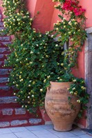 Large Pot With Honeysuckle Vine, Santorini, Greece Fine Art Print