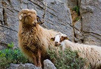 Greece, Crete, Lasithi, Wild Sheep, Kavousi Gorge Fine Art Print