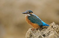 Common Kingfisher bird, Cliff, Cyprus Fine Art Print