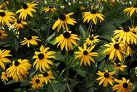 Black-Eyed Susans Fine Art Print