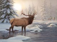 Elk Bugleing Fine Art Print