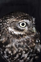 Little Owl by Stephen Walton - various sizes - $24.49