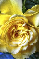 Yellow Rose Fine Art Print