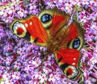 Peacock Butterfly 2 Fine Art Print