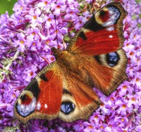Peacock Butterfly 1 Fine Art Print