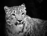 Snow Leopard by SD Smart - various sizes