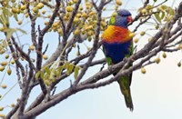Rainbow Lorikeet by SD Smart - various sizes