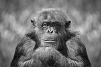 Chimp Fine Art Print