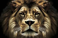 The Lion Fine Art Print