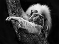 Tamarin by SD Smart - various sizes