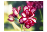 Pink Blossom I Fine Art Print