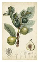 """Exotic Fruits I by Pierre Jean Francois Turpin - 20"""" x 32"""""""