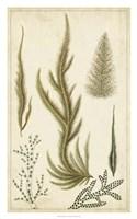Turpin Seaweed IV Fine Art Print