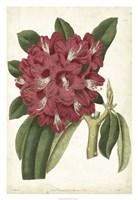 Antique Rhododendron II Fine Art Print
