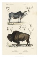 Antique Cow & Bison Study Fine Art Print