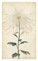 """Elegant Chrysanthemums V - 20"""" x 32"""""""