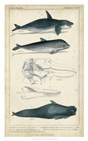 Antique Whale & Dolphin Study I Fine Art Print