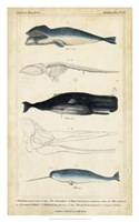 Antique Whale & Dolphin Study III Fine Art Print