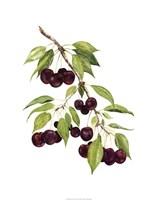 Watercolor Cherries Fine Art Print