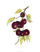 """Watercolor Plums by Michael Willett - 22"""" x 28"""" - $43.99"""