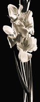 Gladiolas by Michael Harrison - various sizes