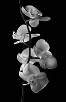 Orchids 1 by Michael Harrison - various sizes