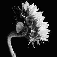 Sunflower Fine Art Print