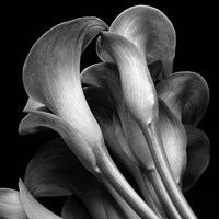 Lillies2 Fine Art Print