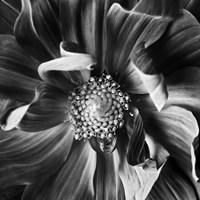 Dahlia 3 by Michael Harrison - various sizes