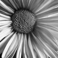 Daisy by Michael Harrison - various sizes