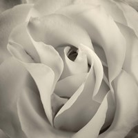 White Rose Fine Art Print