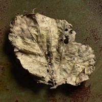 Leaf Torn by Michael Harrison - various sizes